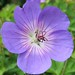 Blue Geranium, Secluded Garden, The Royal KEW Botanic Garden, London @ 21 July 2012 (P3 of 4)