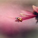Ladybird on pink flower