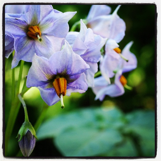 potato plants (...