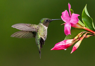 Male Ruby-throated Hummingbird in Hover Mode | by Bill McMullen