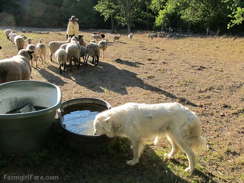 (22-8) Crazy Daisy is a Great Pyrenees and one half of our livestock guardian team  - FarmgirlFare.com | by Farmgirl Susan