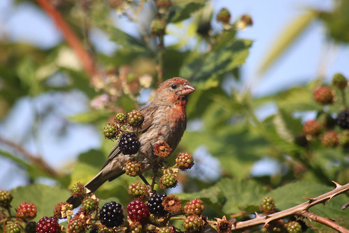 House finch in the blackberries | by Coutou