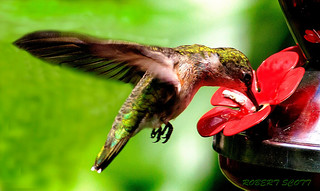 Female Ruby-throated Hummingbird at the Feeder. | by Robert Scott Photographyy