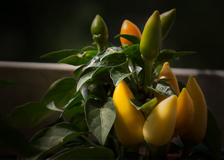 Chiles verdes y amarillos / Green and yellow chiles | by lau_merritt