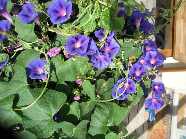 Purpur prunkwinde ipomoea purpurea flickr photo sharing for Ipomea purpurea