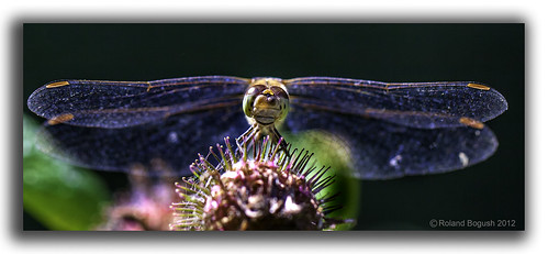 Dragonfly - full frontal! | by Roland Bogush
