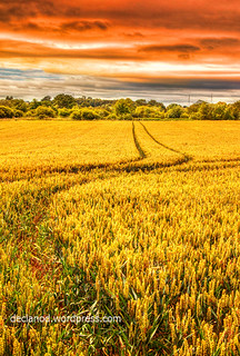 Golden Fields | by sbox