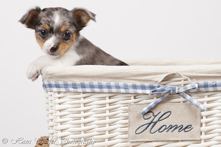 Chiwawa pup of 7 weeks leaving home! | by Hans Surfer (where the action is)