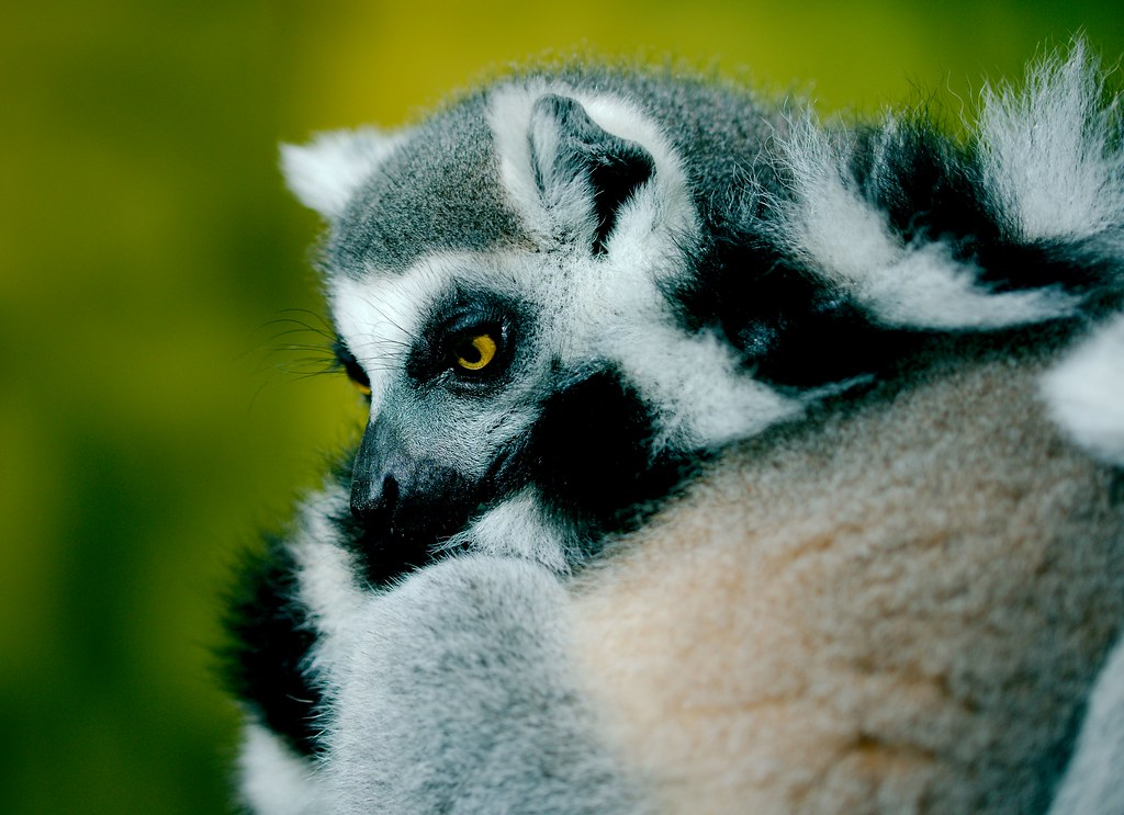 Ring Tailed Lemur_5