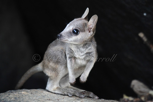 Rock wallaby joey | by wildphotos4u