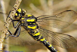 Golden Ringed Dragonfly (Cordulegaster boltonii) | by spw6156 - Over 6,404,003 Views