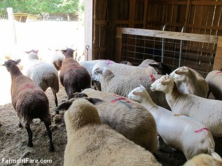 (21-6) Yay! Sheep working Tuesday is over. Oh wait, it's even hotter out there. | by Farmgirl Susan