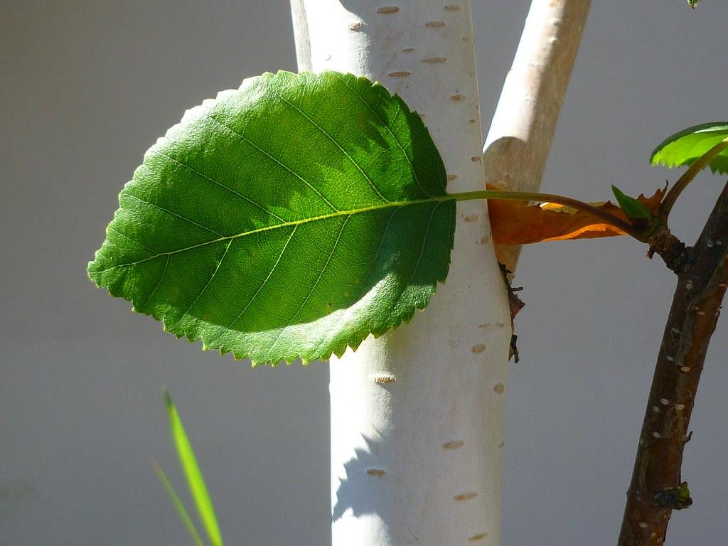 Himalaya Birke himalaya birke betula jacquemontii jörg kaspari flickr