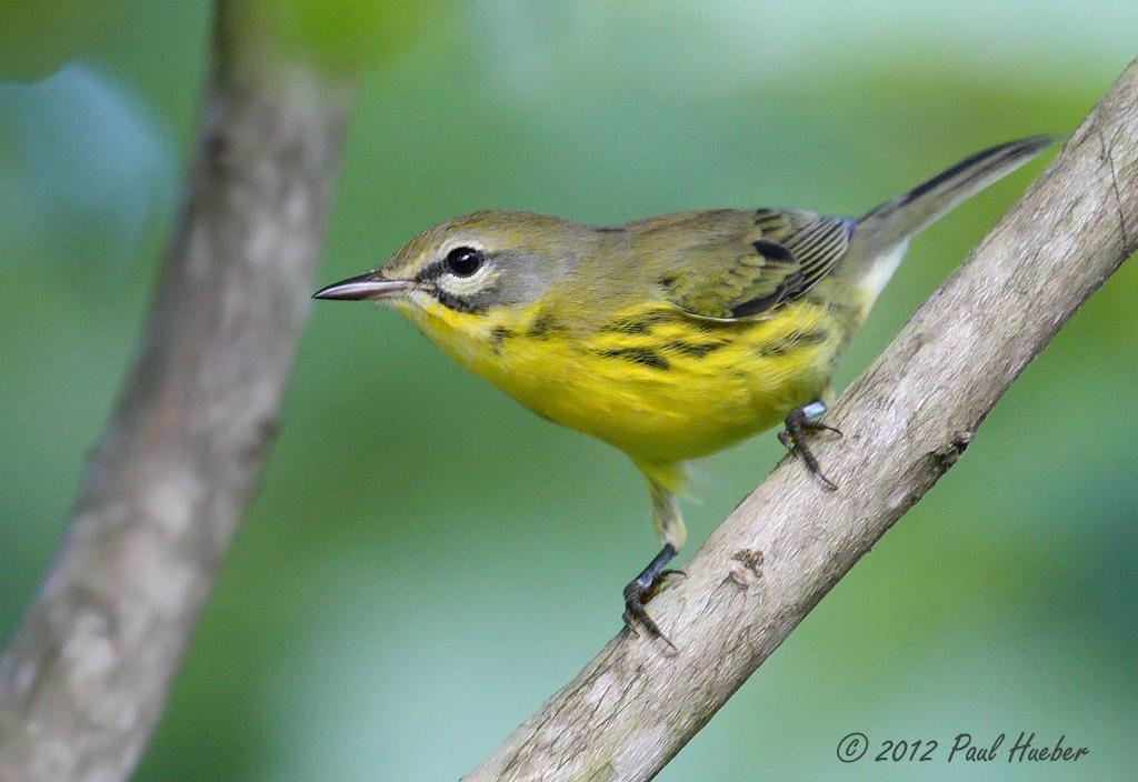 Prairie Warbler - Setophaga discolor | Fall migrants and ...