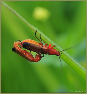 Red soldier beetle with Mite  / Kleine rode weekschildkever met mijten / Rhagonycha fulva | by Eric Tilman