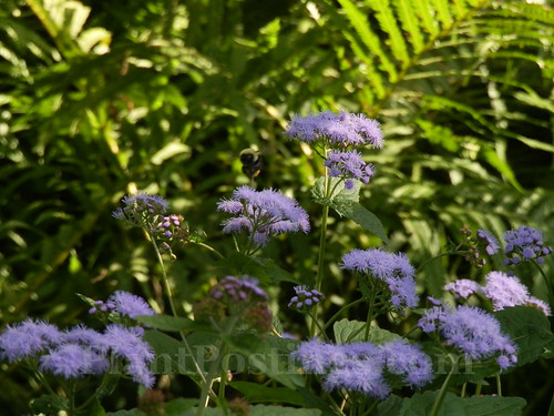 mistflower & ferns
