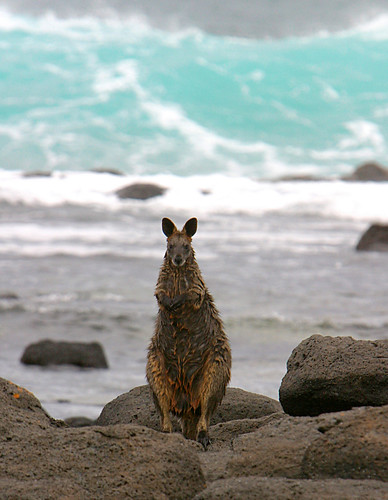 Black (Sea) Wallaby, Port Fairy | by JamesPevitt
