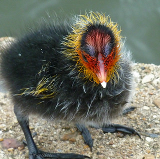 Tiny Coot chick | by Doug Price.