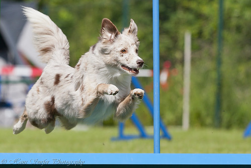 Agility dog | by Hans Surfer (where the action is)