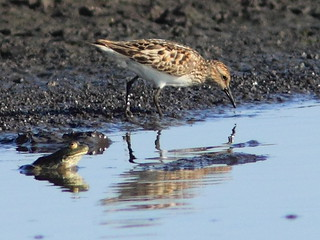 Semipalmated Sandpiper 20120717 | by Kenneth Cole Schneider
