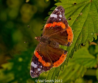 Red Admiral Butterfly | by smithval46