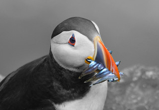 Puffin (selective colouring) | by OWL62