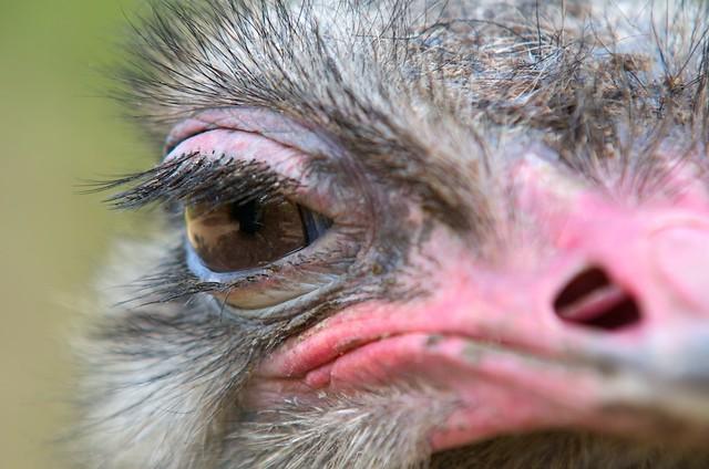 Ostrich eye contact LSVK9746