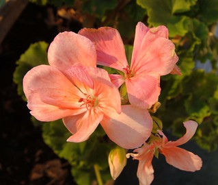 Pelargonium - Geranio | by vincenzolerro
