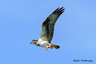 Banded osprey flying by with koi | by Mike Podrasky's photography