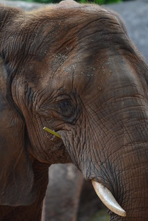 elephhant eating | by cmicheline
