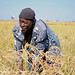 A woman harvesting rice, Barotse floodplain, Zambia. Photo by Georgina Smith, 2012.