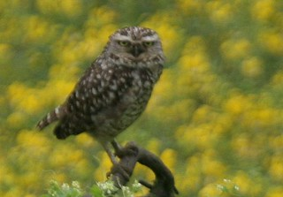 Burrowing owl - Birding in Peru with Nature Expeditions | by stefanaustermuhle