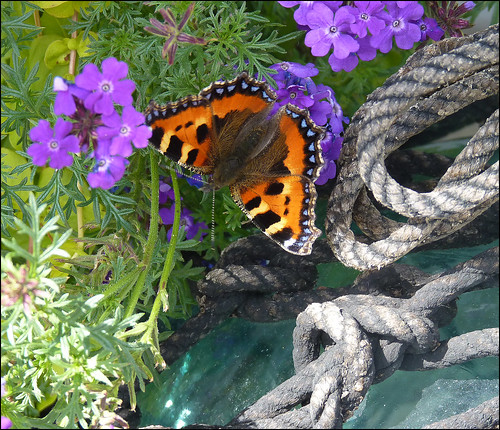 Small Tortoiseshell, rope and glass.  View on black. | by ronmcbride66