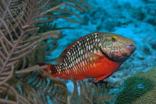 stoplight parrotfish - actor212 - Flickr