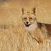 Raposa / Fox
