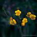 Yellow Woodland Anemone