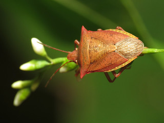 Marsh Stink Bug | by treegrow