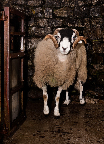Pedigree Swaledale Tup | by Photogravy