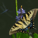 Tiger swallowtail in pickerel weed