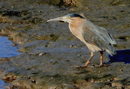 Night Heron 004 | by DMT@YLOR