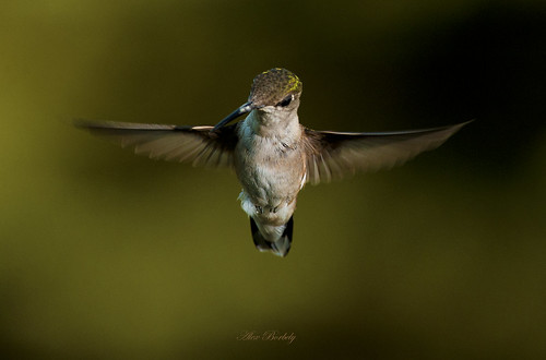 HOT HUMMERS - FEMALE RUBY-THROATED | by Alex Borbely