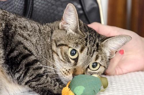 Susi, gata parda guapa y cariñosa esterilizada, nacida en Enero´15, en adopción. Valencia. ADOPTADA. 29787178841_e14c9319c9