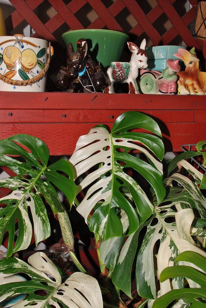 monstera deliciosa variegata for sale at the plant man. Black Bedroom Furniture Sets. Home Design Ideas
