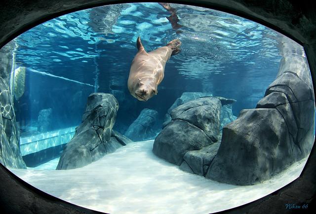 Sea Lion Sound Tunnel St Louis Z00 Flickr Photo