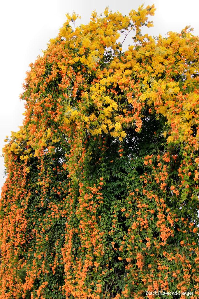 Florida Ground Cover Full Sun: Winter Flowering Pyrostegia Venusta