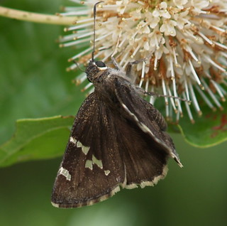 Southern Cloudywing | by summerazure