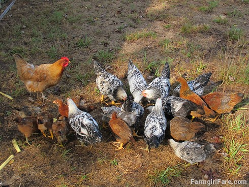 (21-2) Lokey and a lot of big chicks, including some of her second spring hatch of 10 babies | by Farmgirl Susan