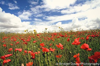 In the Poppy Field | by Bridget Davey (www.bridgetdavey.com)