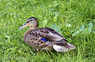 Photo of a duck | by nature_shooter2