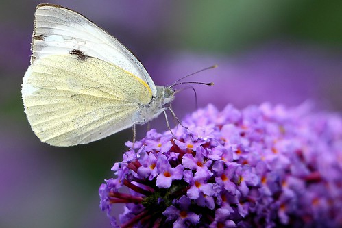Butterfly - Explored :-) | by Airwolfhound